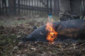 Nem vizsgáltatták be a levágott sertés húsát – baj is lett belőle