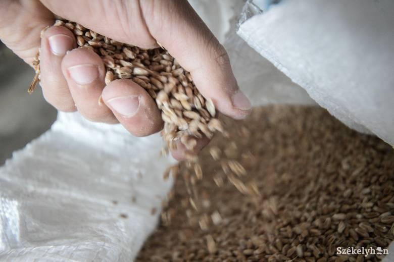 Negyvenszázalékos búzatermés-csökkenéssel számol, milliárdos kártérítést ígér az agrárminiszter