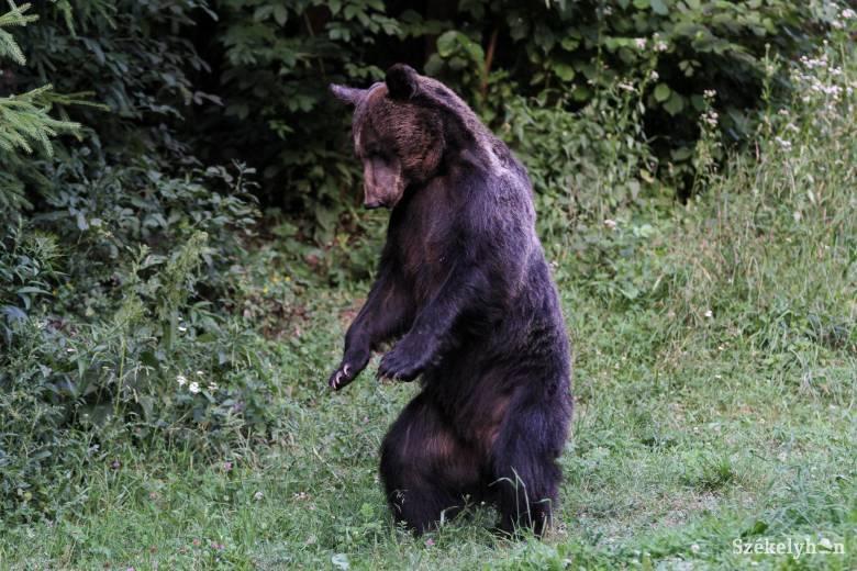 Saját portájukon támadt rájuk a medve