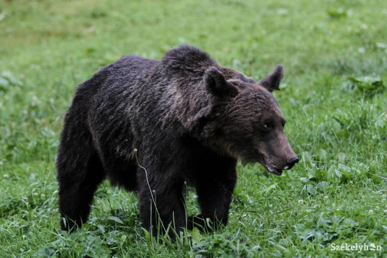 Megpróbálta elkergetni a juhok közeléből a medvét, és akkor...