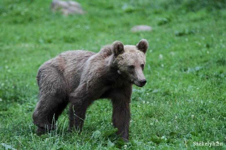 Csapdába esett medvebocsot mentettek meg Balánbánya közelében