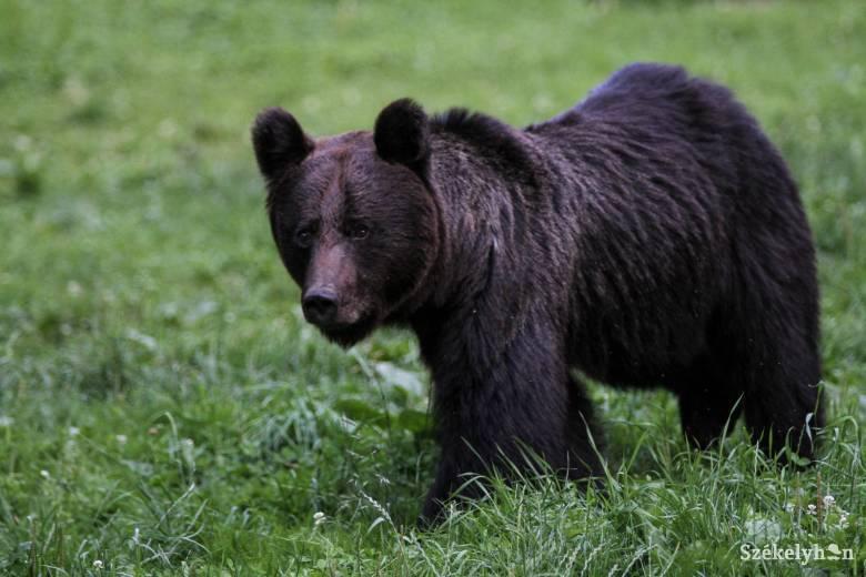 Medve támadt egy csíkszentimrei férfira