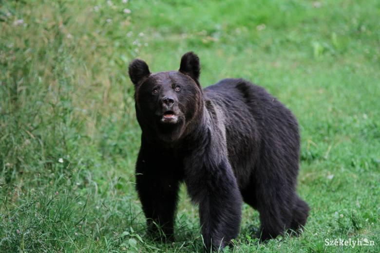 Medve támadt egy fiúra Kászonújfaluban