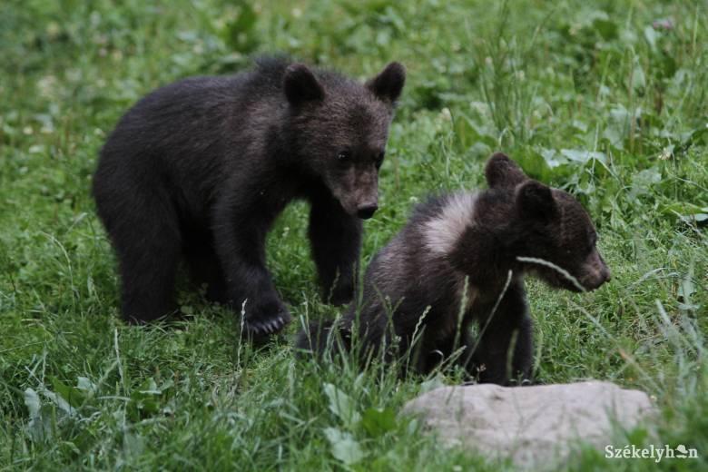 Választ keresnek a kérdésre: mennyi medve él Romániában?