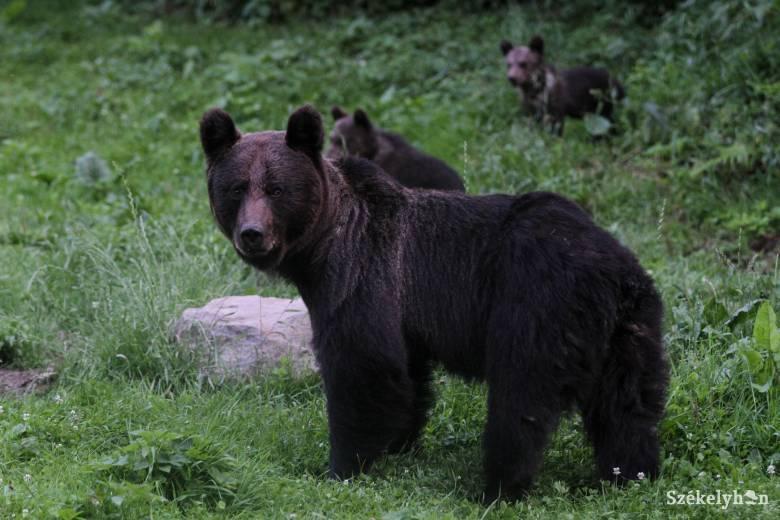 Videó a kőrispataki medvéről és a támadás helyszínéről