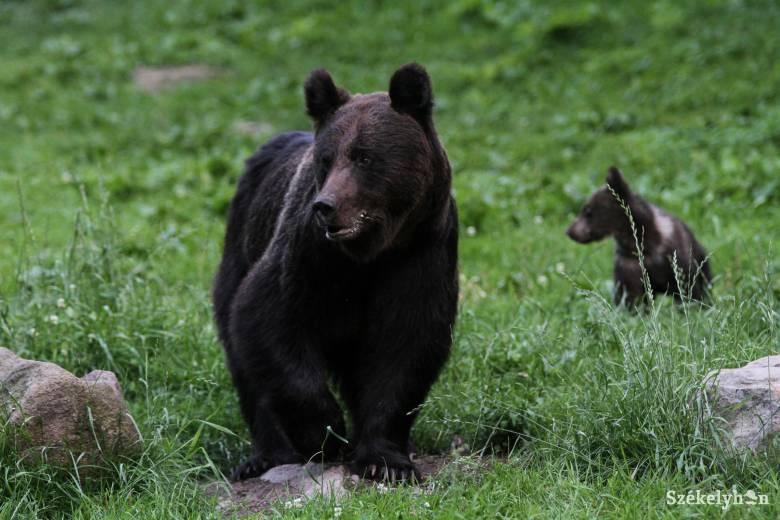 Íme, a vitatéma: megszámolták a medvéket