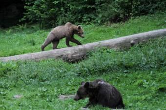 53,5 millió lejt fordítanak a medvepopuláció megfigyelésére