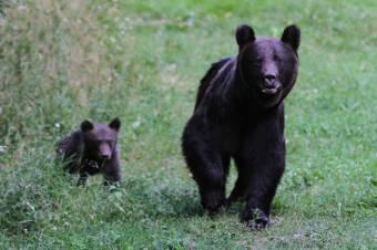 Bukarestben nem sürgős: késik a beavatkozás a medvetámadások ügyében
