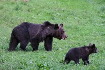 Medvék jelenlétére figyelmeztetnek Csíksomlyón és környékén