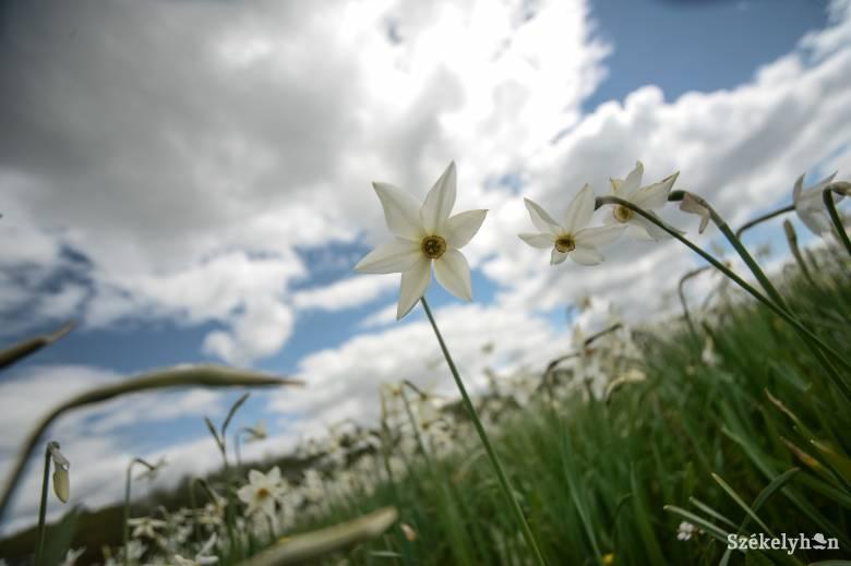 Gyönyörködni, szagolni, otthagyni – csak így maradhatnak meg a nárciszrétek