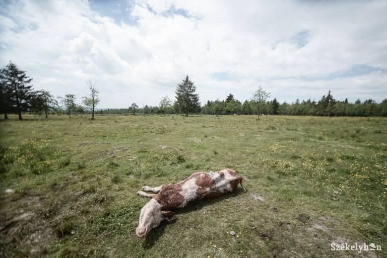 Több mint tíz tehenet öltek meg a medvék a Gyergyószentmiklóshoz tartozó legelőkön