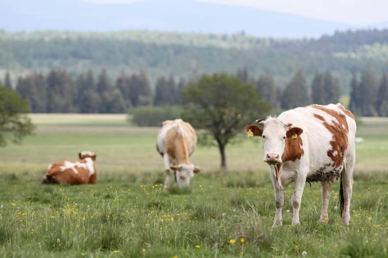 Jóval nagyobb büntetést szabnak ki az állatok tilosban legeltetéséért