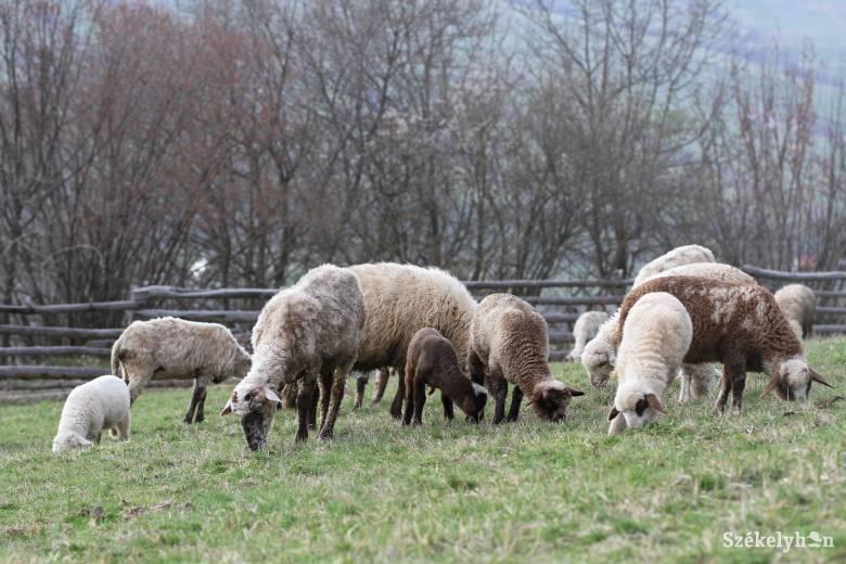 Exportra kerül a Hargita megyében nevelt bárányok jó része, mert többet adnak érte külföldön