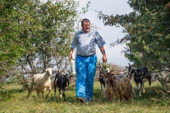 Istengyümölcsétől tejelnek a kecskék