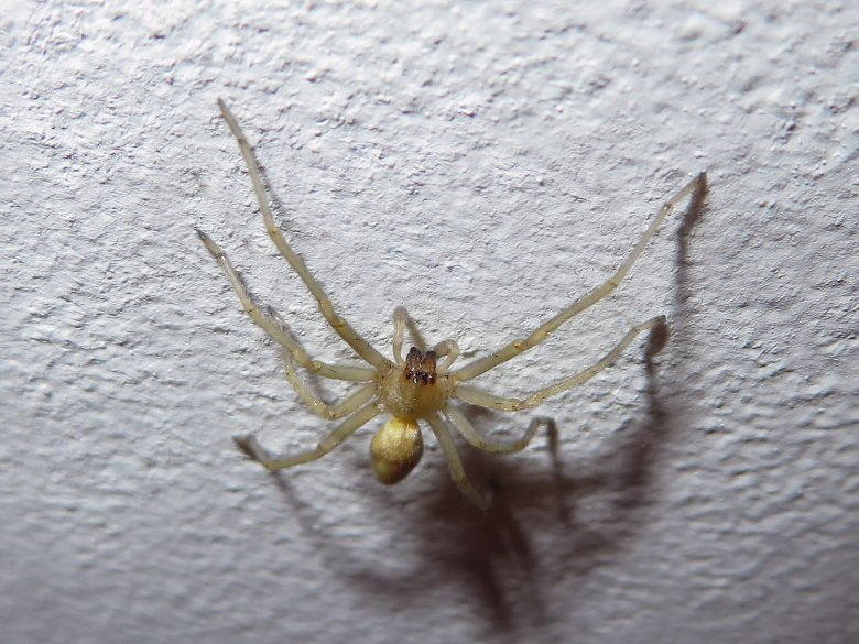pók színű pók