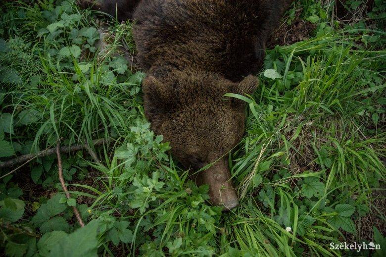 Kilőtték a tehénpusztító medvét