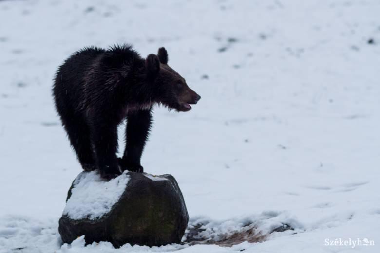 Újra aktívak a medvék, de még békén hagyják a háziállatokat