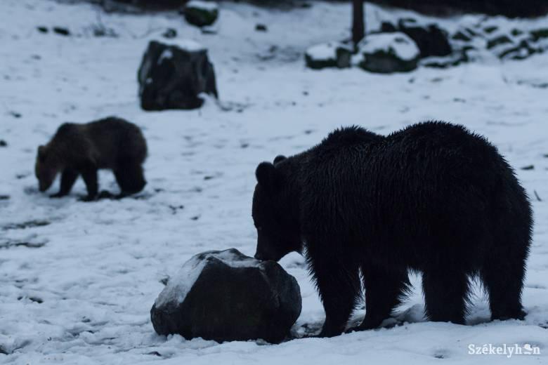 Aktívak a medvék Székelyudvarhely környékén