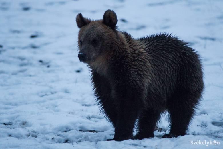 Ezúttal Bencéden tűnt fel egy medve