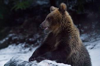 Medve támadt egy férfira Énlakán