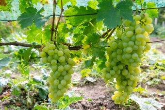 Szóló szőlő Isten lugasából