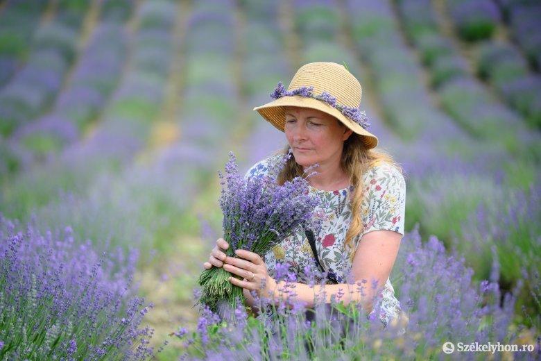 Két hétig látogatható a csekefalvi virágzó levendulamező