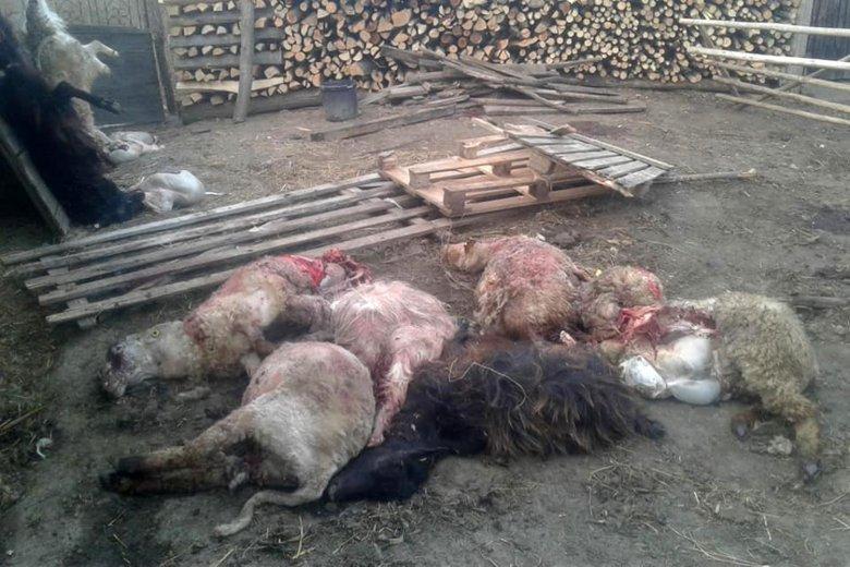 Birkákat ölt a medve egy gyergyóvaslábi gazdaságban
