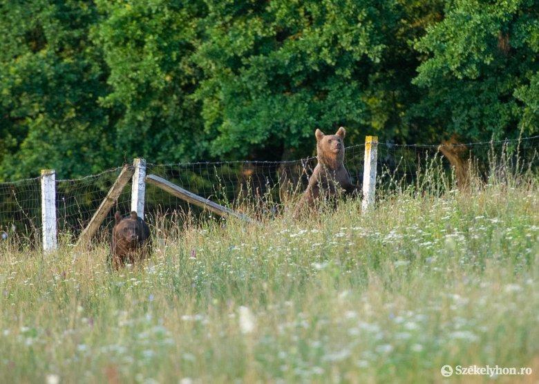 Medvéket kergettek el a hatóságiak Székelyudvarhelyen