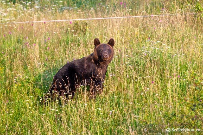 Újabb medvetámadás, a saját telkén sebesített meg egy gazdát a ragadozó Háromszéken