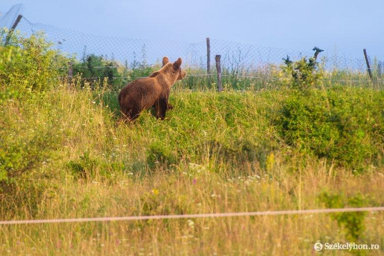 Medvét ütöttek el a Szejkefürdőn, a nagyvad elmenekült a helyszínről