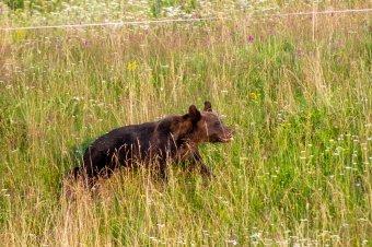 Súlyos medvetámadás történt a Hargita megyei Románandrásfalván