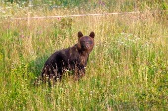 Medve mászkált Csíkszeredában és Székelyudvarhelyen is