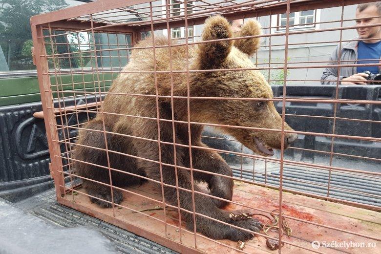 Fényes nappal fogtak be egy sérült medvét Székelyudvarhelyen