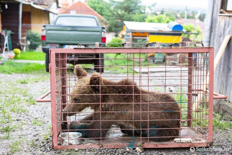 Visszaengedték az erdőbe a Székelyudvarhelyen befogott medvét