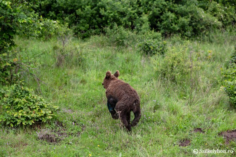 Kutyát és juhokat pusztítottak el a medvék Csíkszéken