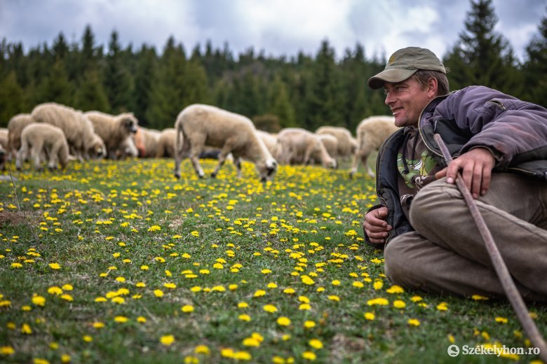 Kihajtották a juhokat a hargitai Pusztára
