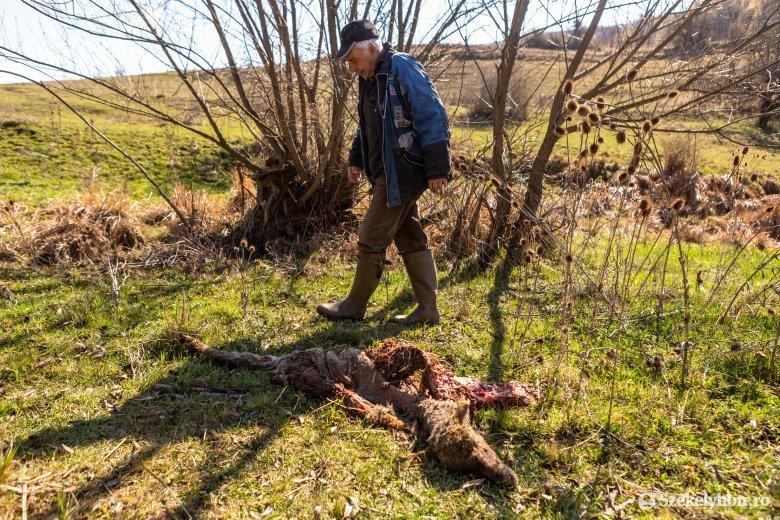 Juhokat öltek és bárányokat vittek el a nagyvadak