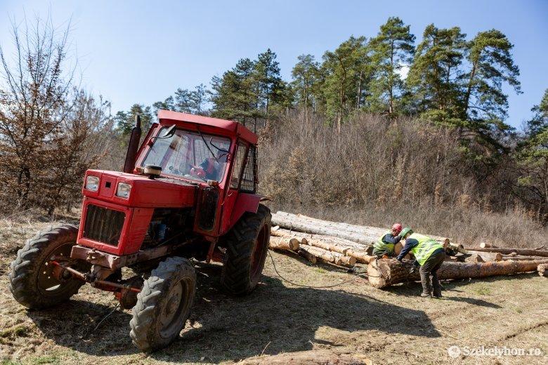 Veszélyes fákat vágnak ki Bögöz határában és a Kalondán