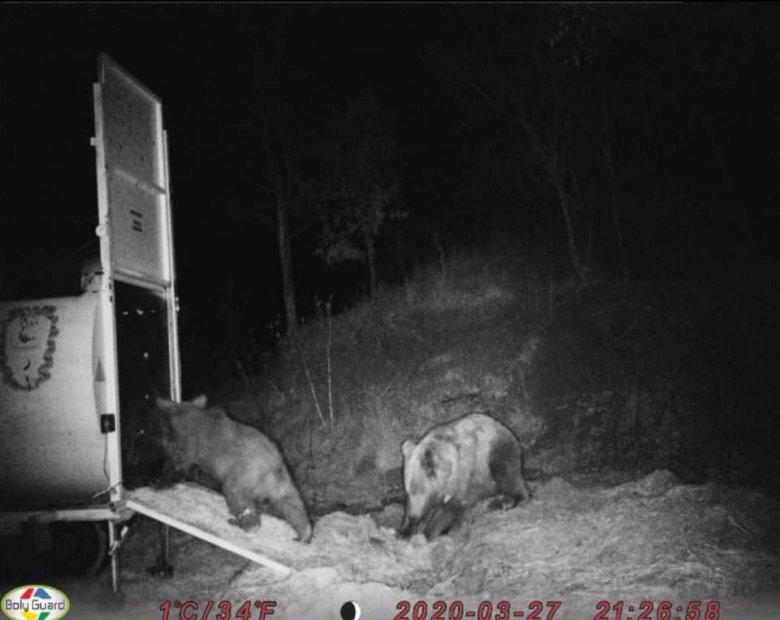 Egy hónap sem kell, és megnövekednek a medvekárok a populáció túlszaporodása miatt