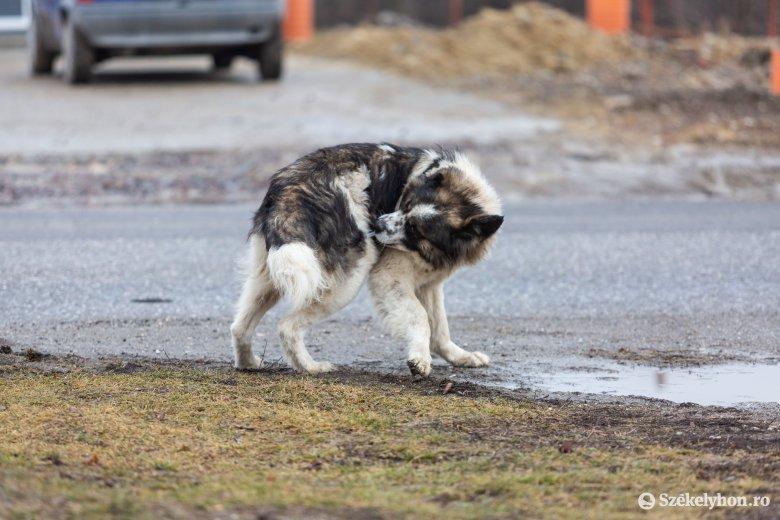 Veszettség ellen oltják a kutyákat Gyergyószentmiklóson