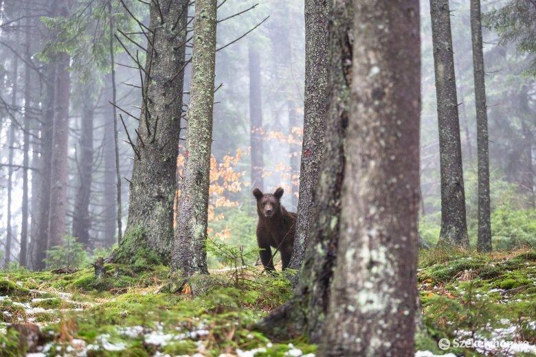 Tehetetlenek a lakók, az ablakból kénytelenek végignézni, ahogy a medvék elpusztítják a haszonállataikat