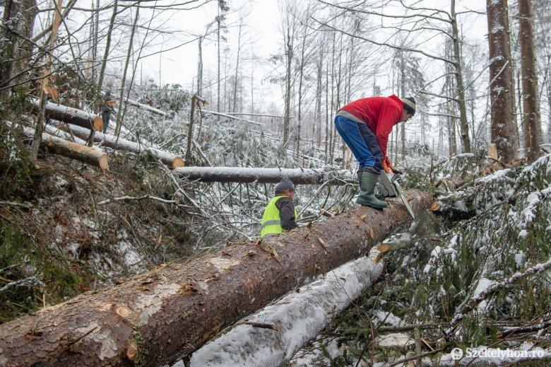 Sikerült értékesíteni a tavalyi széldöntések nyomán kitört fák nagy részét