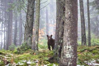 """A medveállomány ritkítását sürgetik a vadászok – Az EU """"megnyugtatására"""" készít felmérést a szakminisztérium a vadpopulációról"""