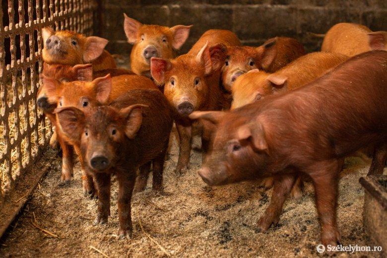 Új szabályok sertéstartó gazdáknak: tilos az állatot maradékkal etetni, az istállóba belépéskor fertőtleníteni kell a lábbelit