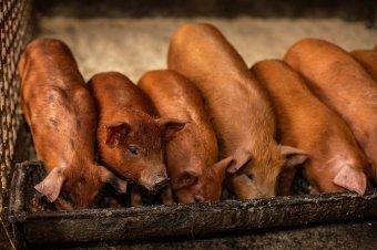 Ellehetetlenítenék a háztáji sertéstartást: nem a maradékok tiltása és a fertőtlenítés jelenti a gondot