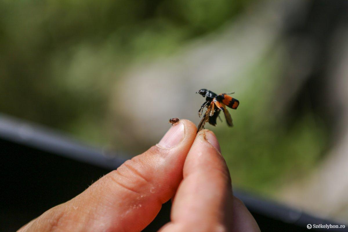 Természetes ellensége a kártevő rovaroknak a szúfarkas (a fotón piros szárnyú pettyes bogár) •  Fotó: Erdély Bálint Előd