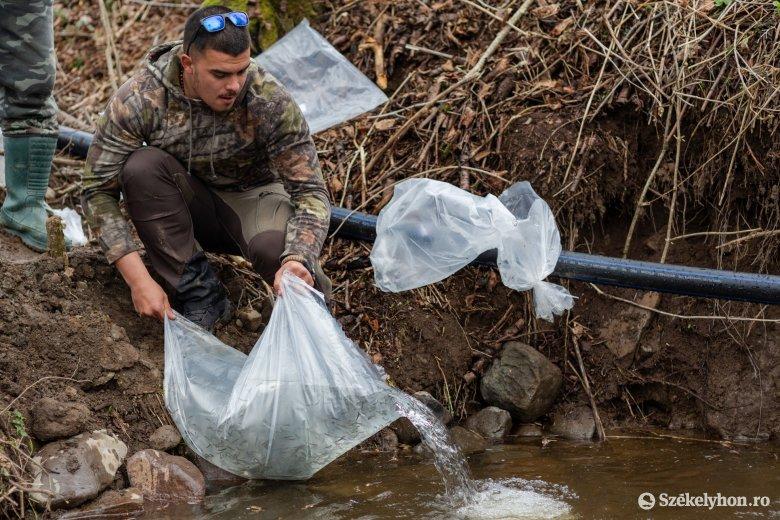 Pisztrángokat a helyi vizekbe! – a fogyó halállomány telepítésén fáradoznak Udvarhelyszéken