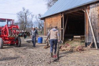 Huszonegy juhot és bárányt marcangoltak szét a medvék Kecsetben