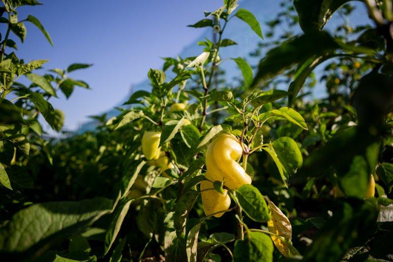 Már nem csak a paradicsomtermelők kapnak kormánytámogatást
