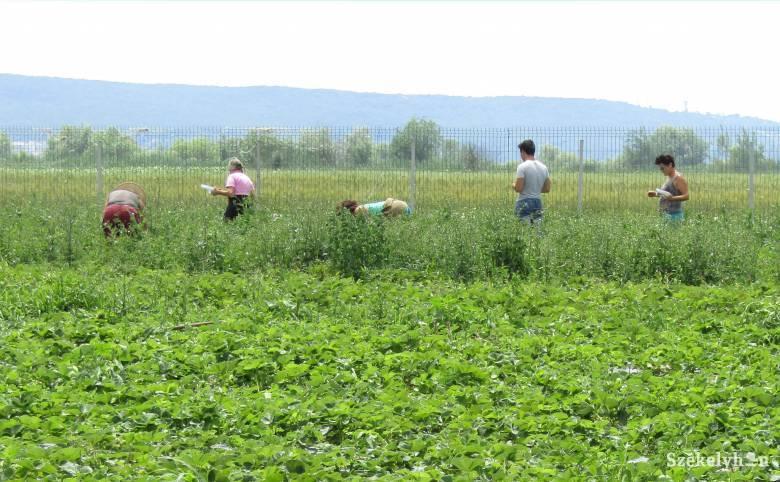Gyakrabban támadnak a kórokozók és kártevők, szakértelem híján nem hatékony a növényvédelem
